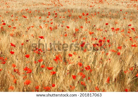 Stock Photo Golden wheat field with red poppies flower.