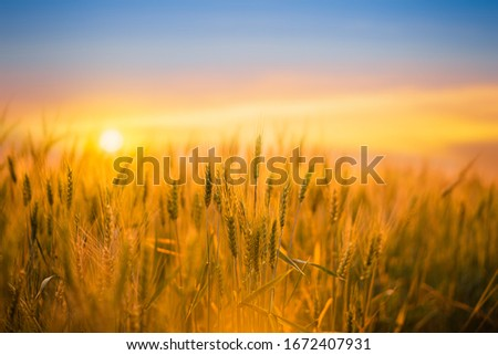 Golden wheat field with sunset natural background. stock photo