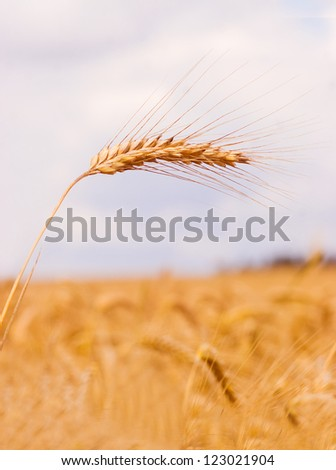 Golden wheat growing in a farm field, closeup on ears - stock photo