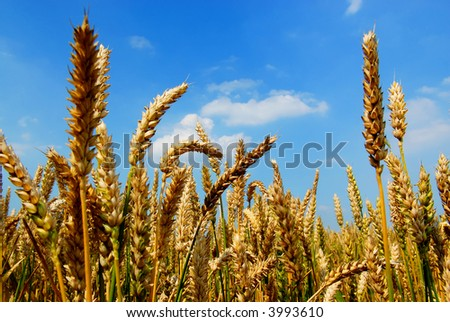 golden wheat in the field with a blue sky and white fluffy clouds