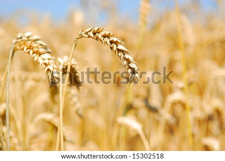 Golden wheat in the field with a shallow dof and blue sky #15302518