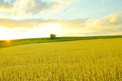 Golden wheat in the open field
