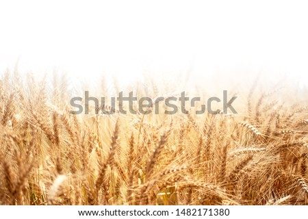 Golden wheat rye close-up on the white background