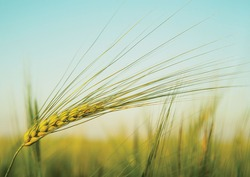 Golden wheat spike on blue sky background
