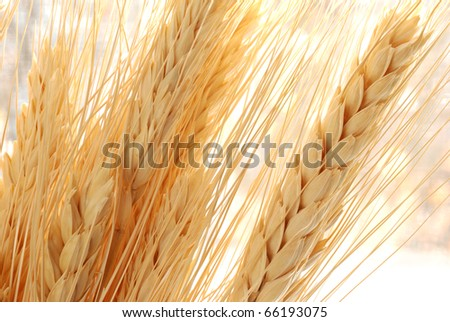 Golden wheat spikes backlit with natural sunlight.  Macro with shallow dof.