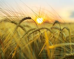 Golden wheat spikes on summer crop field
