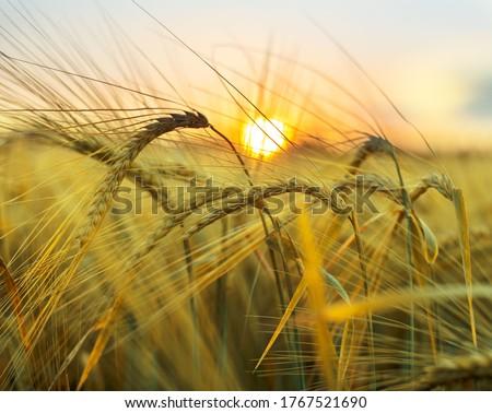 Photo of  Golden wheat spikes on summer crop field