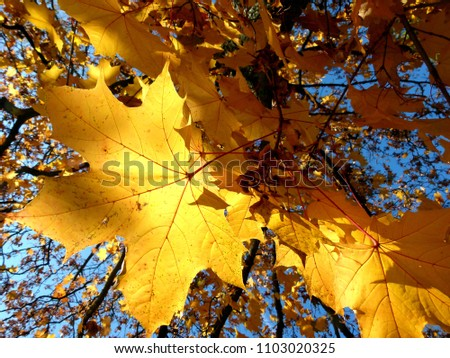 golden yellow autumn leaves in full sun,