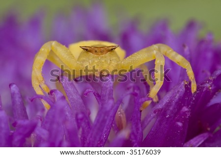 Golden/yellow crab spider on purple wildflower, porcupine flower