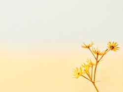 Golden yellow dry grass flower on white background