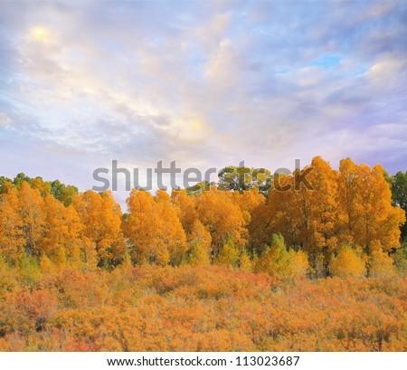 Golden yellow Fall Populus trees - stock photo