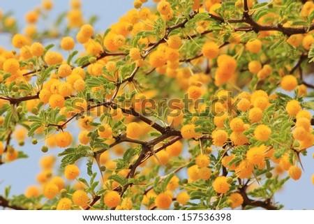 Golden yellow flowers wild flower background from africa spring golden yellow flowers wild flower background from africa spring season and beauty from mother mightylinksfo