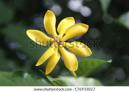 golden, yellow gardenia flower, Gardenia carinata Wallich