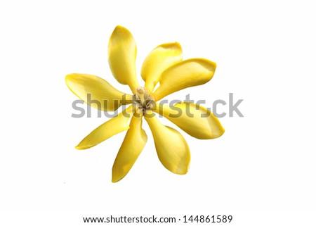 golden, yellow gardenia flower, Gardenia carinata Wallich on white background