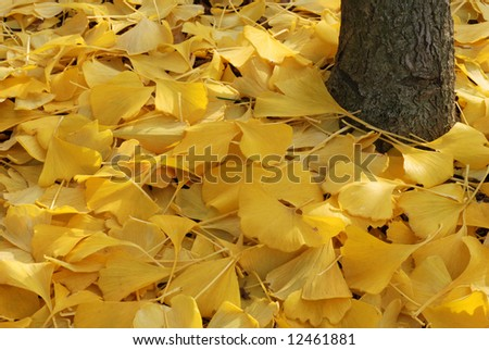 Golden yellow ginkgo leaves at the base of a young tree.