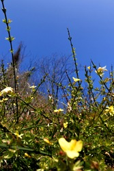 golden, yellow jasminum nudiflorum in spring with blur gradient and blue sky in the background