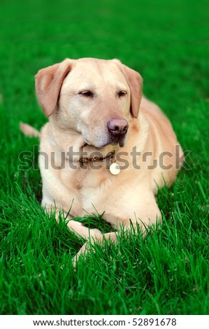 Golden yellow lab laying on green vibrant grass. What a cute, rested, dog.