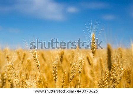 Golden yellow of big wheat field,meadows and closeup seed with big blue summer sky background and little clouds with toned color and selective focus #448373626