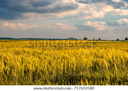 Golden yellow wheat field in warm sunshine under dramatic sky, fresh vibrant colors, at Rhine Valley (Rhine Gorge) in Germany #717633580