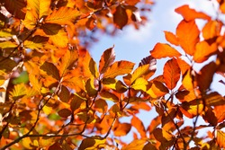 Golden young beech tree against clear blue sky on a sunny day. Close-up of colorful red, orange, yellow leaves. Natural pattern, texture, background. Early autumn. Seasons, climate change, environment