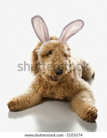 goldendoodle dogs pictures. stock photo : Goldendoodle dog