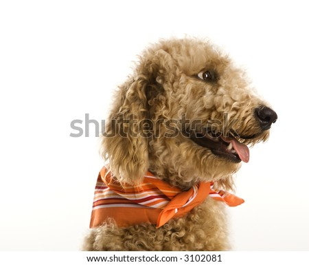 goldendoodle puppy pictures. goldendoodle puppy cut.