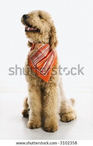 goldendoodle puppy pictures. stock photo : Goldendoodle dog