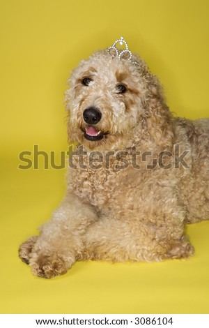 goldendoodle puppies mn. tattoo GOLDENDOODLE puppies!