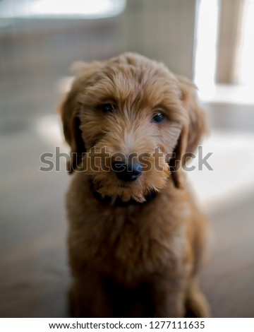 Happy Goldendoodle puppy Images and Stock Photos - Avopix com
