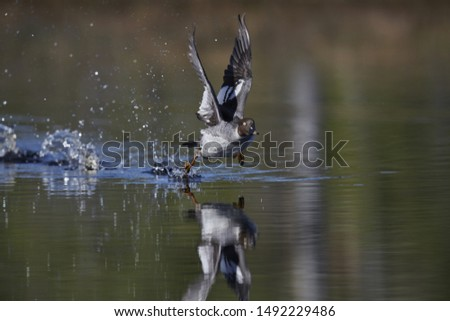 goldeneye launching into the air #1492229486
