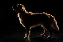 Goldenretriever Dog