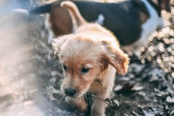 Goldenretriever puppy playing with a basset hound outside