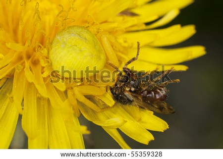 Goldenrod crab spider feasting on fly. Macro photo.