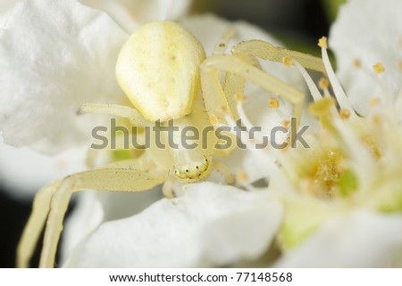 Goldenrod crab spider (Misumena vatia) camouflaged in bird cherry, extreme close up with high magnification