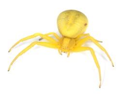 Goldenrod crab spider, Misumena vatia isolated on white background.