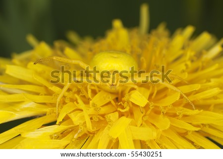 Goldenrod crab spider on dandelion. Macro photo.