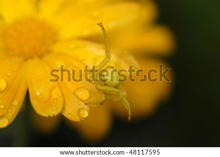 Goldenrod crab spider on marigold
