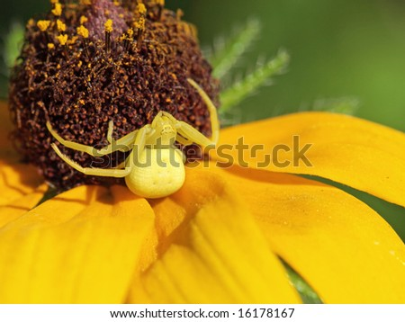 Goldenrod crab spider on yellow flower