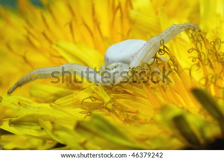 Goldenrod Misumena vatia crab spider on a yellow flower - stock photo