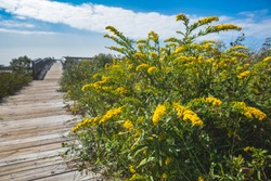 Goldenrod plant in bloom on Life of the Marsh Nature Trail at Assateague National Seashore in Maryland on the Delmarva Peninsula