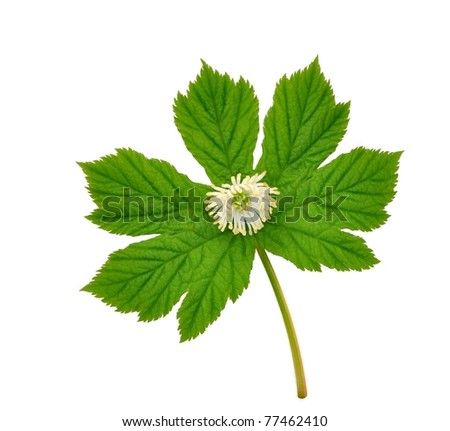 Goldenseal plant in flower (Hydrastis canadensis) on a white background.