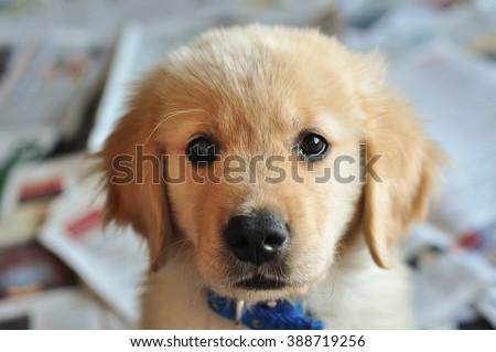 Golder Retirever Puppy on Potty Training