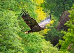 Goldern Eagle bird of prey in flight