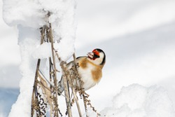 Goldfinch, a multi-colored colorful bird from the Finch family sits on a branch of a Bush with seeds and pecks them. Snowy winter and Sunny weather