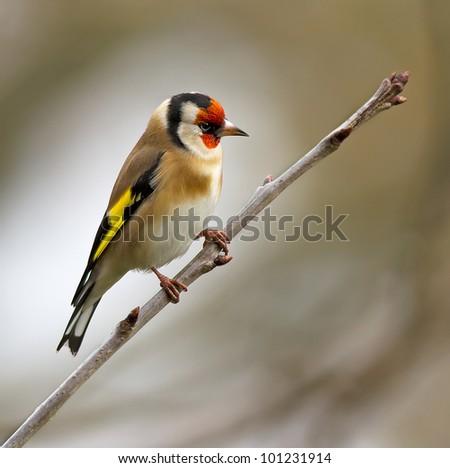Goldfinch (Carduelis carduelis) #101231914