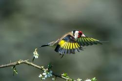 Goldfinch,Carduelis carduelis in flight