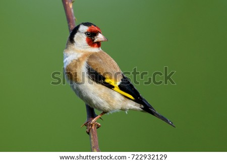 Goldfinch (Carduelis carduelis) perched on a branch.Bird sitting on a branch.Bird of Europe.Poland