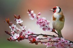 Goldfinch, Carduelis carduelis, single bird on blossom