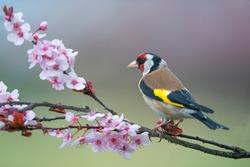 Goldfinch, Carduelis carduelis, single bird on blossom