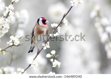Goldfinch, Carduelis carduelis, single bird on blossom, Warwickshire, April 2012            #146489240